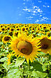 Field Of Yellow Sunflowers Against A Blue Sky stock image