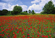 Landscapes Fields Of Poppy Flowers stock photo