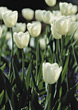 Fields Of White Tulips stock image