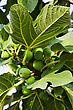 Fig Tree Close-up stock image