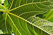 Fig Tree Leaf Close-up stock photo