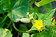 Flagellum With Little Green Cucumbers And Yellow Flower On A Background Of Green Leaves And Stems