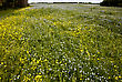 Flax And Canola Crop Blue And Yellow Bloom Saskatchewan stock photography