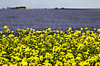 Flax And Canola Crop Blue And Yellow Bloom Saskatchewan stock image