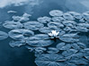 Floating White Lotus Flower stock photo