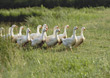 Flock of Geese stock photography
