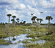 Palmtrees Florida Wetlands With Birds And Alligators stock photo