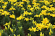 Flower Bed Of Bright Beautiful Yellow Lily stock photography
