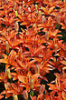 Flower Bed Of Bright Red Lillies stock image