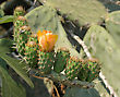 Flower And Fruit Ovary Large Prickly Cactus Opuntia, Israel