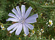 Chicory Flower Herb stock image