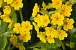 Flower Of Primula Veris, Early Spring Plant stock photo