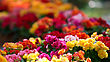 Flowerbed With Multicolored Flowers stock photo