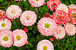 Flowering Pink Daisies On A Background Of Green Foliage stock photo