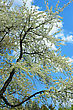 Flowering Tree With White Flowers In The Spring stock image