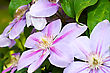 Flowers of clematis