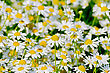 Uncultivated Flowers White Medical Field Camomile On A Meadow stock photography