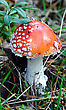 Fly Agaric, Amanita. Poisonous Mushroom stock photo