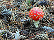 Fly Agaric In Forest stock photo