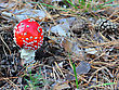 Fly Agaric In Forest stock image
