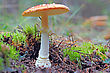 Fly Agaric In Forest stock photography