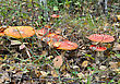 Fly-agaric In Grass In Forest stock image