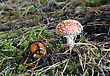 Fly Agaric Poisonous Mushroom, Two Red Fungus, Amanita Muscaria stock photo