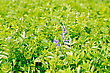 Fodder Crop With Green Leaves And Violet Flowers stock photo