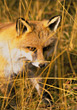 A fox hunting in a field of grass stock photography