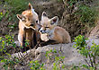 Small Fox Kits Canada At Play Saskatchewan Canada stock photo