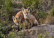 Fox Kits At Play Den In Saskatchewan Canada stock image
