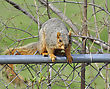 Fox Squirrel Sitting On A Fence
