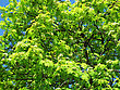 Fresh Green Branches Of Blossoming Mountain Ash stock image