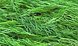 Closeup Fresh Green Dill stock photography