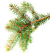 Fresh Green Fir Branches .Isolated On White Background stock photography