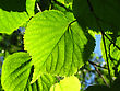 Urban Fresh Green Leaf Of Linden Tree Glowing In Sunlight stock photo