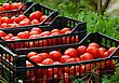 Fresh Healthy Tomatoes Being Stocked In Plastic Boxes stock photo