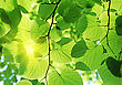 Fresh New Green Leaves Glowing In Sunlight stock image
