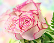 Fresh Pink Roses , Close Up Shot For Background stock photo