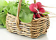 Fresh Radish From Garden In A Basket