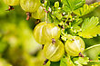 Fresh And Ripe Organic Gooseberries Growing In The Garden stock photography