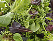 Fresh Salad Leaves Assortment Close Up For Background
