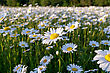 Fresh Wild Daisies On A Sunny Day, Close Up, Top View