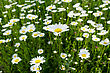 Fresh Wild Daisies On A Sunny Day, Close Up, Top View stock image
