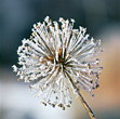 Frosted Flower stock photography