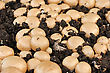 Fruiting Bodies Of Champignon, Edible Gilled Fungus stock image