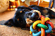 Funny dog is lying on the ground and playing with colorful toy in it's mouth