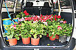 Geranium Flowers In Gardener Car. stock photography