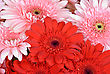 Gerbera Flowers, Close Up stock photo