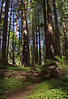 Giant Redwoods California Northern Park Near Eureka stock photo